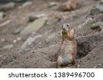 prairie dogs    herbivorous... | Shutterstock . vector #1389496700