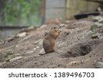 prairie dogs    herbivorous... | Shutterstock . vector #1389496703