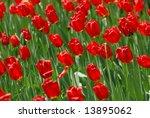 tulips   Shutterstock . vector #13895062