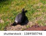 long necked swamp tortoise... | Shutterstock . vector #1389585746