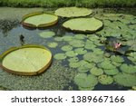 Victoria And Pink Waterlily...
