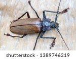 giant fijian longhorn beetle... | Shutterstock . vector #1389746219