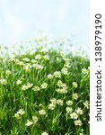White daisy flowers in a green spring field. - stock photo