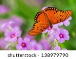 Gulf Fritillary Butterfly ...