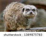 the meerkat or suricate is a... | Shutterstock . vector #1389875783