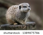 the meerkat or suricate is a... | Shutterstock . vector #1389875786