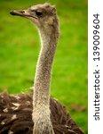 ostrich | Shutterstock . vector #139009604