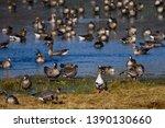 Huge Crowd Of Migratory Goose...