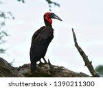 southern ground hornbill in... | Shutterstock . vector #1390211300