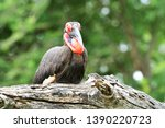 southern ground hornbill in... | Shutterstock . vector #1390220723