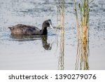 Red Knobbed Coot Wading In...