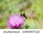 Red Tailed Bumble Bee On A...