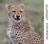 Portrait Of Cheetah Youngster...