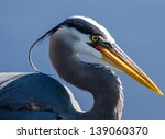 Great Blue Heron In Profile