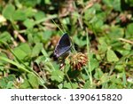 Gray Hair Streak Butterfly...