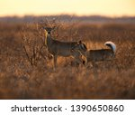 Doe And Yearling In The Evening ...