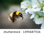 In Flight Flying Bumblebee In...