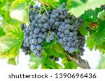 bunches of fresh dark black... | Shutterstock . vector #1390696436