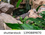 broad snouted caiman  caiman...   Shutterstock . vector #1390889870
