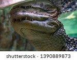 broad snouted caiman  caiman...   Shutterstock . vector #1390889873