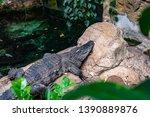 broad snouted caiman  caiman...   Shutterstock . vector #1390889876