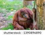 Orangutan At The Apeldoorn Zoo...