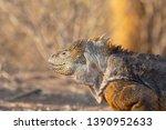 land iguana  conolophus   ... | Shutterstock . vector #1390952633