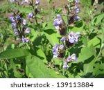 flowering plants of sage in the ...   Shutterstock . vector #139113884