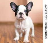 Stock photo french bulldog puppy 139115099