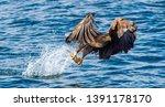 Adult White Tailed Eagle...