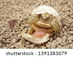 Stock photo africa spurred tortoise are born naturally tortoise hatching from egg cute portrait of baby 1391383079