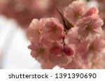 cherry flowers blossom in bloom.... | Shutterstock . vector #1391390690