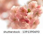 cherry flowers blossom in bloom.... | Shutterstock . vector #1391390693
