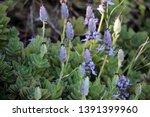 flowers of plectranthus... | Shutterstock . vector #1391399960