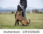 brown dog belgian malinois in...   Shutterstock . vector #1391420630
