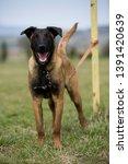 brown dog belgian malinois in...   Shutterstock . vector #1391420639