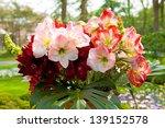Small photo of Beautiful Amaryllis flowers in closeup Amaryllidaceae