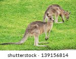 Two Kangaroos On Green Grass