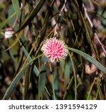 Unusual Spiky Pink Blooms Of...