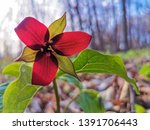 A red trillium in the forest of Nuns