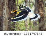 Small photo of Capture of a Great hornbill in flight found in Chitwan National Park in Nepal.