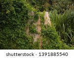 creeper taking over reed screen ... | Shutterstock . vector #1391885540