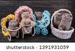 Stock photo scottish straight and scottish fold kittens funny kitten with decorations playful fluffy kittens 1391931059