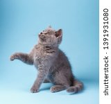 Stock photo scottish straight kitten funny furry kitten carefully watching the kitten is played by lifting 1391931080