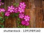 Garden Plant Of Clematis...