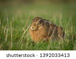 Stock photo european brown hare laid down in grass fields 1392033413