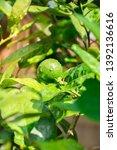 green lemon on the tree. | Shutterstock . vector #1392136616
