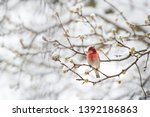 Male Red House Finch Haemorhou...
