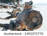 felled trees  windbreak  wood... | Shutterstock . vector #1392372770