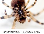 a typical spider from a uk... | Shutterstock . vector #1392374789
